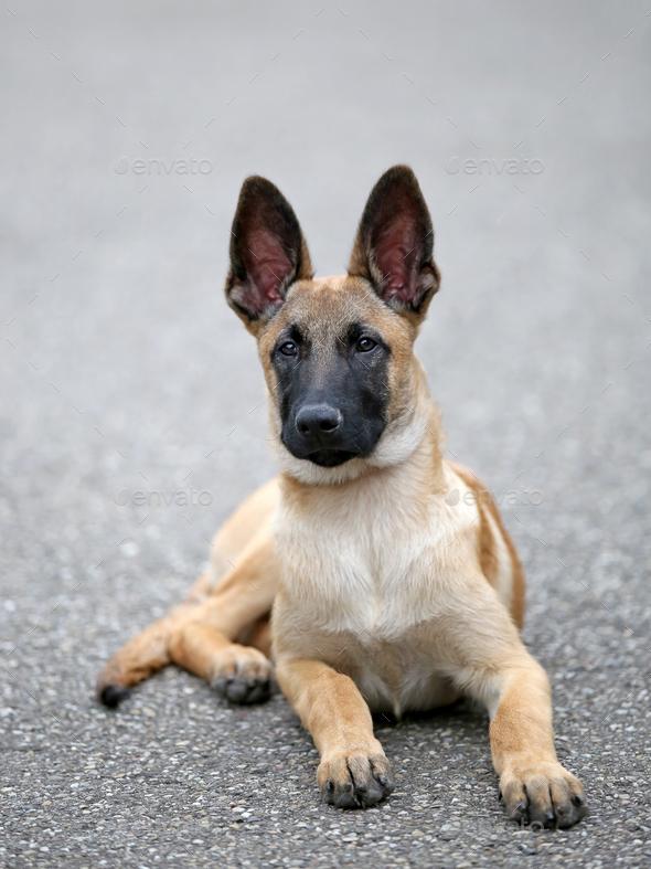 Belgian Shepherd - Stock Photo - Images