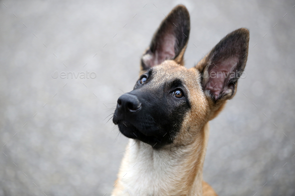 Belgian Shepherd - Stock Photo - Images