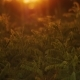 Golden Grass Flutters in the Wind During Sunset in August - VideoHive Item for Sale