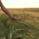 Female Hand Touching Wheat in the Field