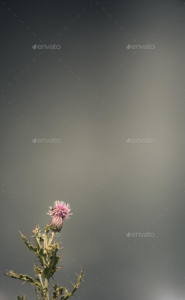 Stormy Scottish Thistle - Stock Photo - Images
