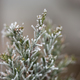 Pine tree needles on winter closeup. - PhotoDune Item for Sale