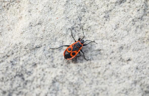 Closeup of firebug. - Stock Photo - Images