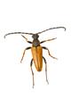 Longhorn beetle (Stictoleptura rubra) on a white background