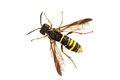 Sawfly (Tenthredo) on a white background