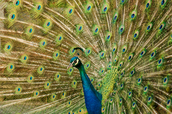 Peacock with colorful spread feathers - Stock Photo - Images
