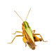 Grasshopper on a white background - PhotoDune Item for Sale