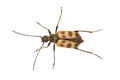 Beetle (Judolia cerambyciformis) on a white background