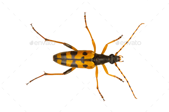 Beetle (Leptura maculata) isolated on a white background - Stock Photo - Images