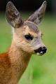 Baby roe deer on summer meadow