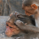Two Monkeys Cleaning Each Other - VideoHive Item for Sale