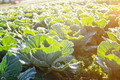 Cabbage with sunlight in the morning