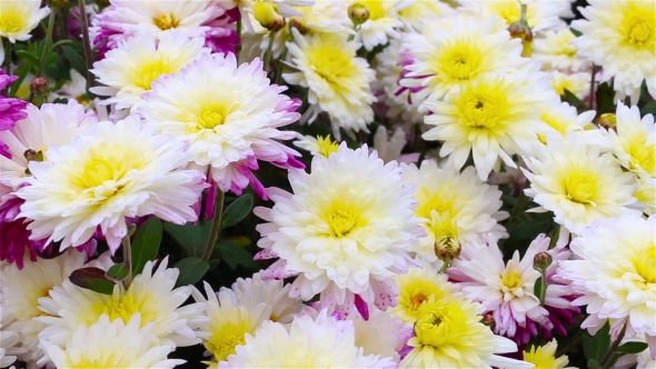 White red yellow chrysanthemum flowers in the garden by merlinus74 play preview video mightylinksfo