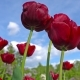Blooming Red Tulips on a Blue Sky Background,  of Tulips Swaying in the Wind.