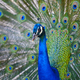 Peacock with colorful spread feathers. Animal background. Horizontal - PhotoDune Item for Sale