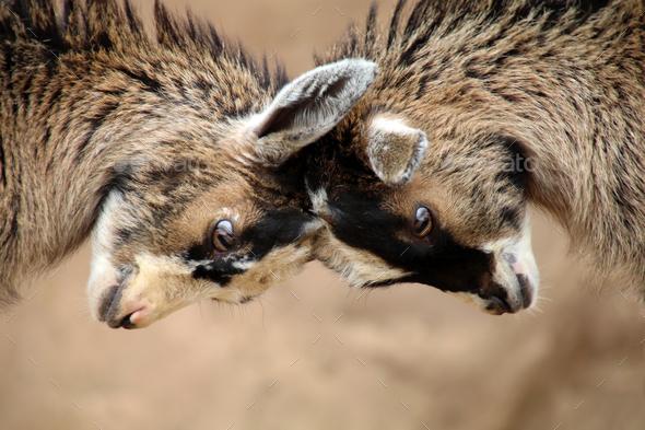 Goats - Stock Photo - Images