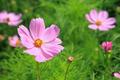 Pink cosmos flowers - PhotoDune Item for Sale