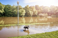 Dog in a park on a flooded path after the sunrise