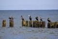 Black cormorants by the sea