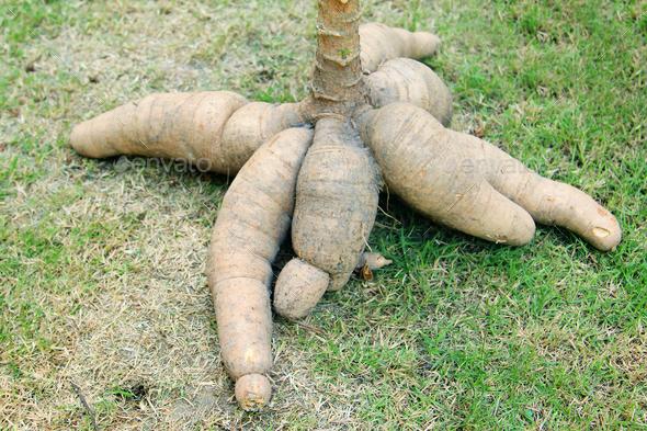 Tapioca Plants Cassava