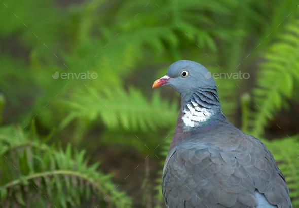 Wood pigeon ( Columba palumbus) summer portrait