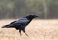 Raven (Corvus corax) on the forest clearing