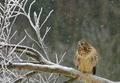 Common buzzard (Buteo buteo( sittin on the sitting on the felled tree - PhotoDune Item for Sale