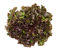 Batavia Red lettuce from above over white - PhotoDune Item for Sale