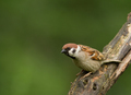 Tree sparrow (Passer montanus) on the branch