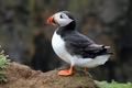 Puffin - PhotoDune Item for Sale