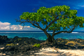 Single tree on a beach with black lava rocks on Upolu, Samoa - PhotoDune Item for Sale
