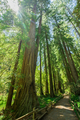 Giant redwoods in Muir Woods National Monument near San Francisc - PhotoDune Item for Sale