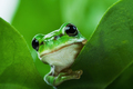 Cute little green frog peeking out from behind the leaves - PhotoDune Item for Sale