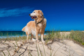 Golden retriever on a sandy dune overlooking tropical beach