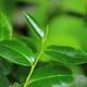 Green tea leaves - PhotoDune Item for Sale
