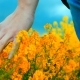 of Hand Touching Yellow Flowers at Blooming Field - VideoHive Item for Sale