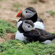 Puffins - PhotoDune Item for Sale