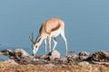 Springbok (Antidorcas marsupialis) drinking water in a waterhole