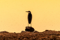 Silhouette of a grey heron a sunset at a waterhole in Northern Namibia