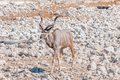 A greater kudu bull walking between white calcrete rocks