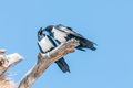 Two pied crows, Corvus albus, on dead tree branch, interacting - PhotoDune Item for Sale