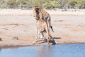 Namibian giraffe bull tests the reproductive condition of a female - PhotoDune Item for Sale