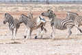 Burchells zebra stallion kicking with both hind legs during fight