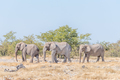 Three African elephants, Loxodonta africana, walking - PhotoDune Item for Sale