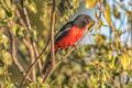 Crimson-breasted shrike, Laniarius atrococcineu - PhotoDune Item for Sale