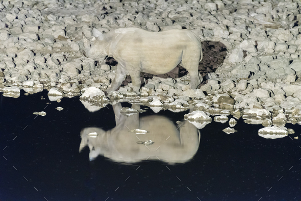 Black rhinoceros, Diceros bicornis, at an artificially lit waterhole - Stock Photo - Images