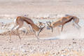Two springbok rams fighting