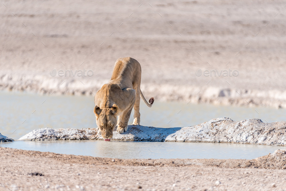 Female African Lion, Panthera leo, drinking water at a waterhole - Stock Photo - Images