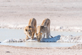 Female African Lions, Panthera leo, drinking water at a waterhole - PhotoDune Item for Sale