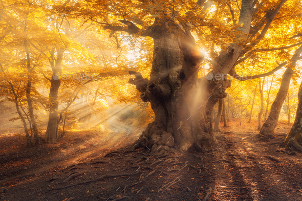 Magical old tree with sun rays at sunrise  Foggy forest - Stock Photo - Images